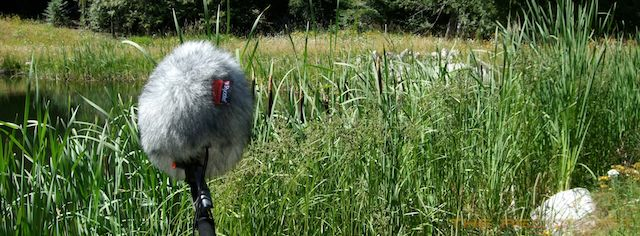 Cattails and Sennheiser MKH-8040ST 